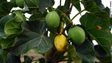 Jatropha seeds are a source of biofuel.