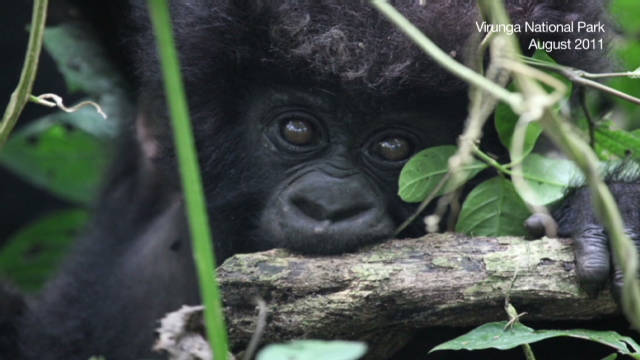 CNN tracks massacred gorilla group