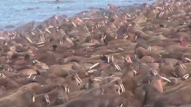 A mass hangout for walruses