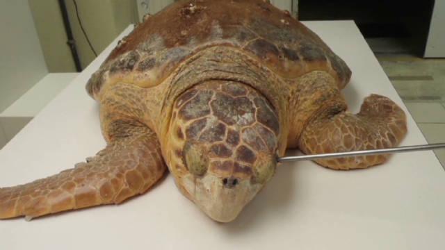vo spear turtle release_00000529