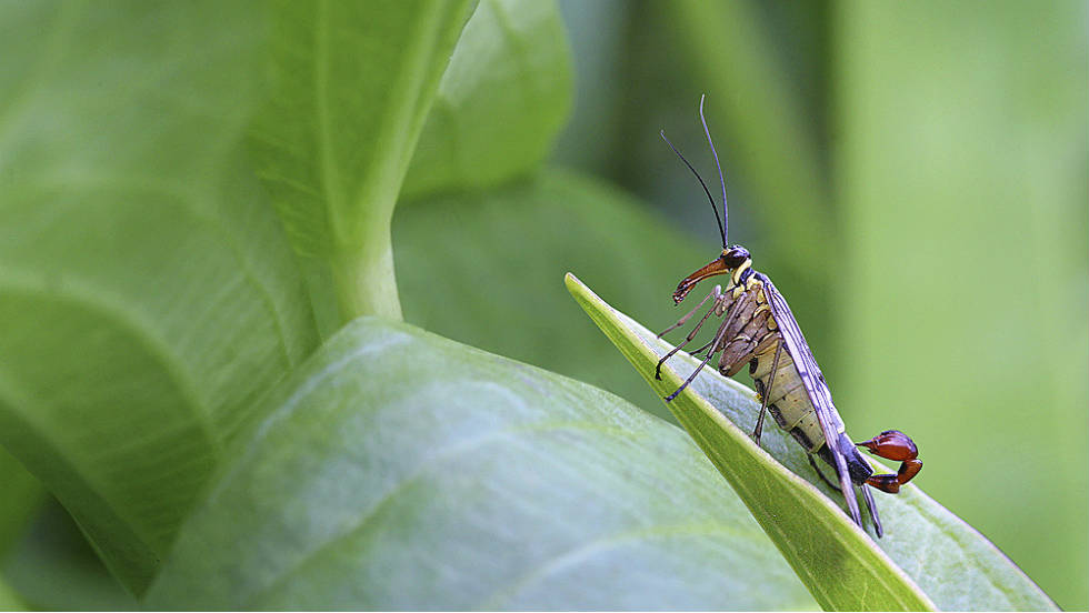 "HIDDEN BRITAIN: ""Scorpion Fly on a Leaf"" by Leslie Holburn"