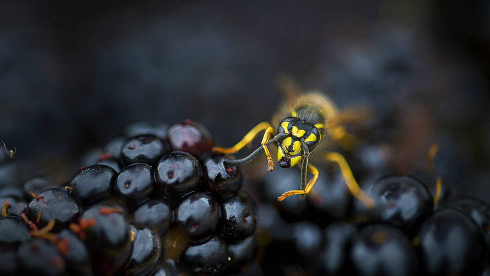 "WILDLIFE IN MY BACKYARD: ""Busy Wasp on Blackberries"" by Rana Dias"