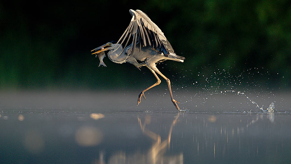 "ANIMAL BEHAVIOR: ""Grey Heron Walking on Water"" by Andrew Parkinson"