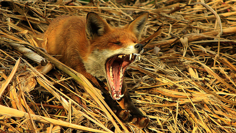 "YOUNG PHOTOGRAPHER (12 to 18 years): ""Fox Yawning"" by Oliver Wilks (aged 16)"