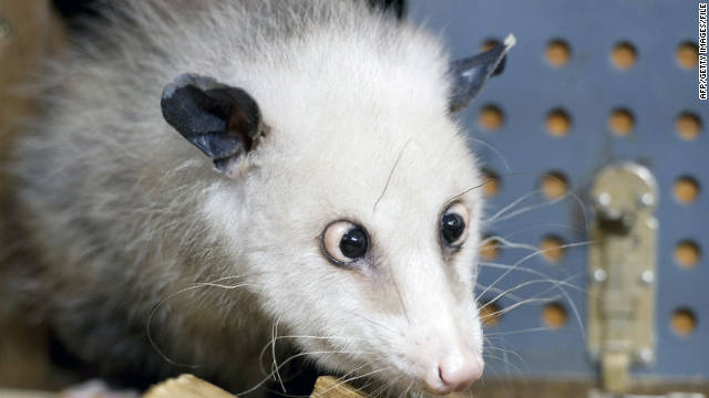 The famous cross-eyed German opossum Heidi has been put to sleep due to poor health.