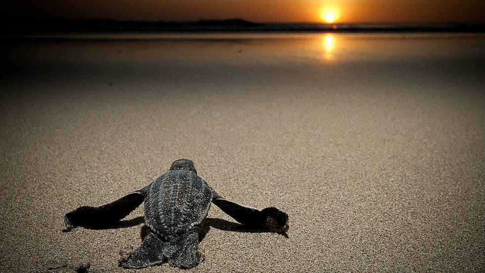 Leatherback turtles have been the subject of concerted conservation efforts, but in the East Pacfific alone populations have declined 90%