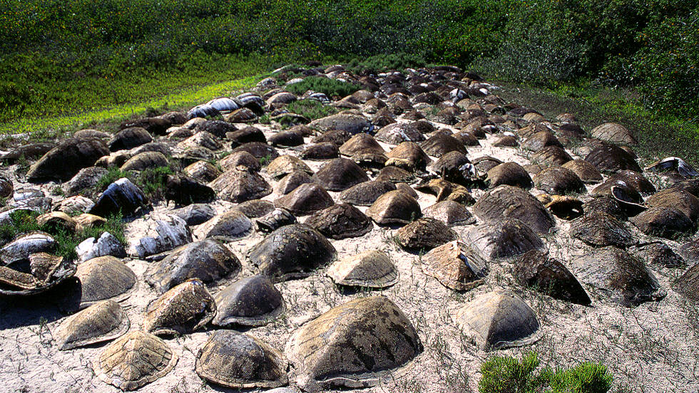 "Loggerhead turtles nesting near the North Pacific Ocean. According to conservationists this species is most threatened by ""severe bycatch"" (snagged in fisherman targeting other species) in Mexico and Japan"