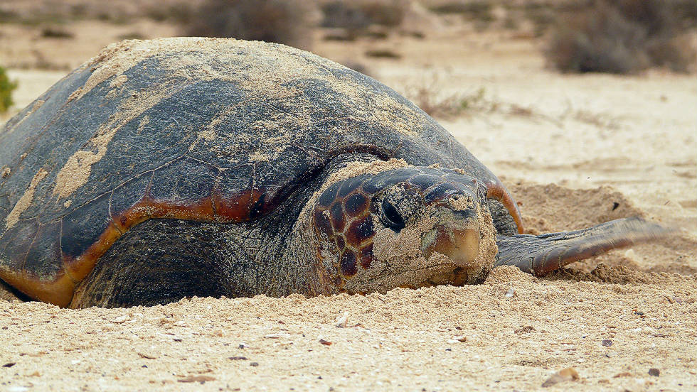 A loggerhead turtle on the northeast Atlantic Coast. Here, this species has been threatened for decades by consumption of meat and eggs, conservationists say.