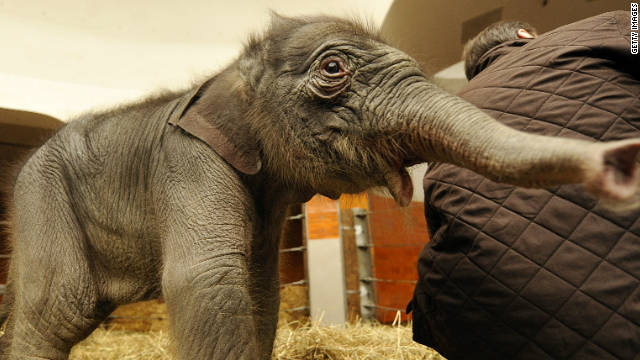 A two-day-old baby elephant named 'Jamuna Toni' investigates her enclosure at Hellabrunn Zoo in the southern German city of Munich on December 23, 2009. The Asian elephant baby was born on December 21, 2009. AFP PHOTO DDP / JOERG KOCH GERMANY OUT (Photo credit should read JOERG KOCH/AFP/Getty Images)
