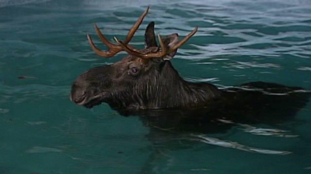 vo moose stuck in pool_00000701