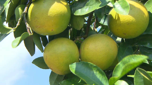 Florida grapefruits for S. Korea