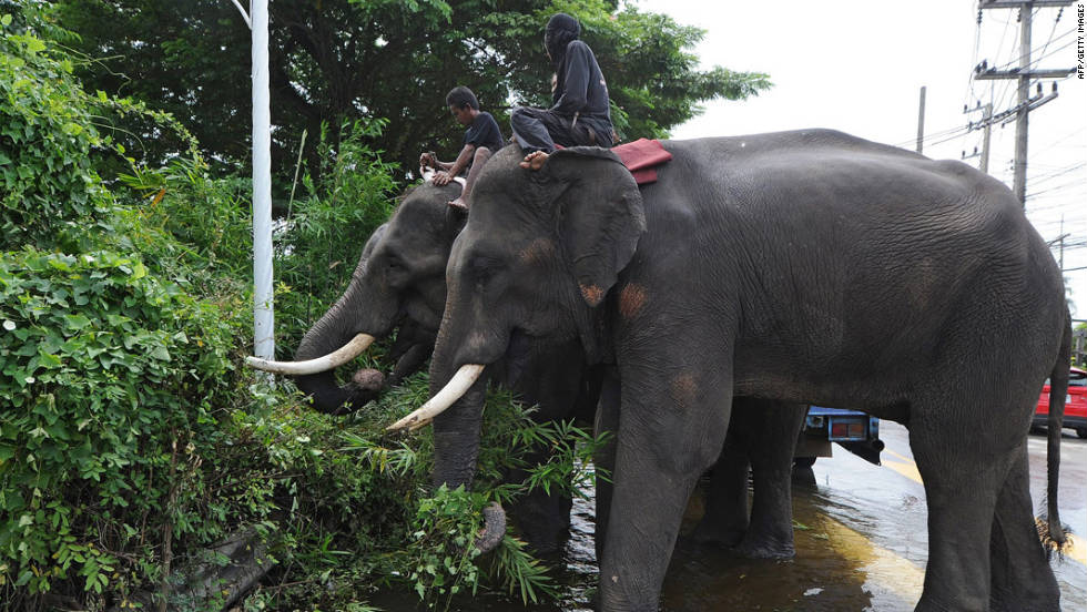 Elephants stand in low-lying floodwater as they eat grass on the side of a street in Ayutthaya on October 12, 2011