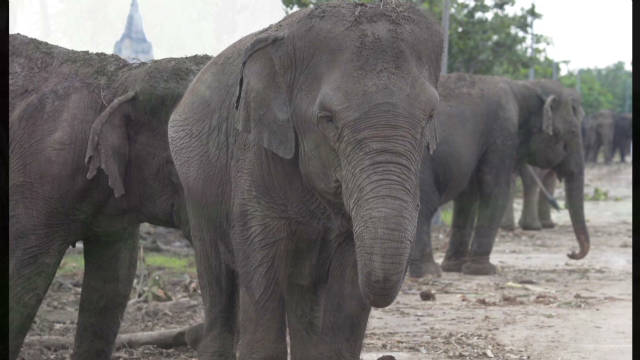 Thailand floods leave elephants stranded