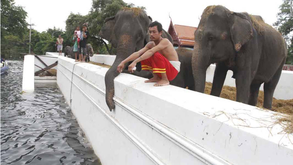 Fifteen elephants are stranded on top of Ayutthaya's Royal Elephant Kraal from the floods.
