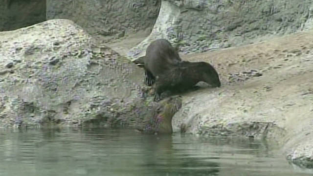 fl wplg otter learns to swim_00001229