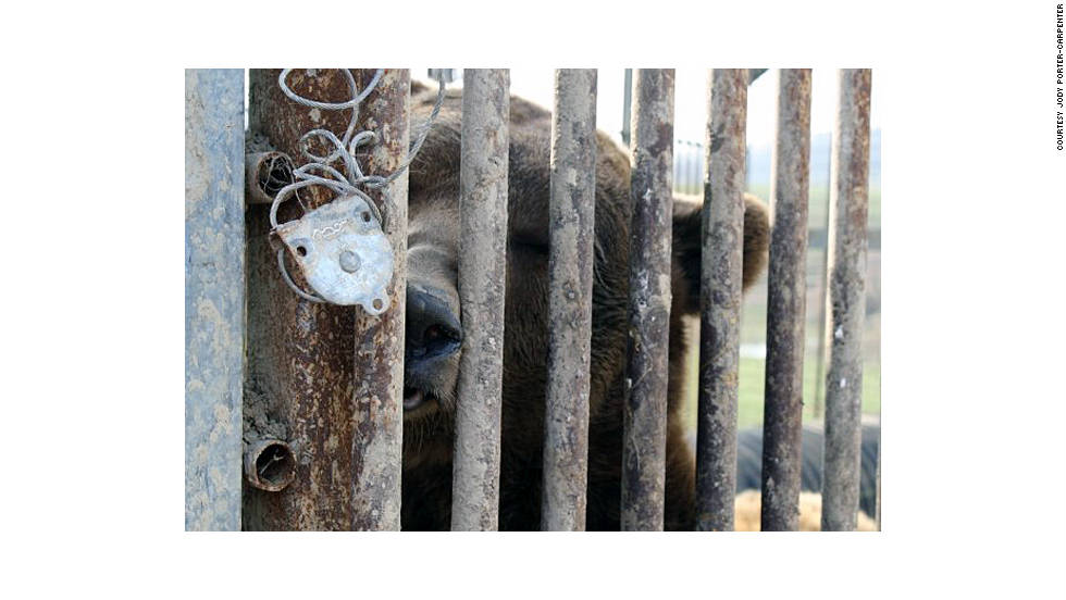 A grizzly bear looks through his cage. One grizzly was brought to a zoo, and two others were killed. Law enforcement officials said on October 19 that they had accounted for all but one of the menagerie of animals released, with just a monkey remaining on the loose.