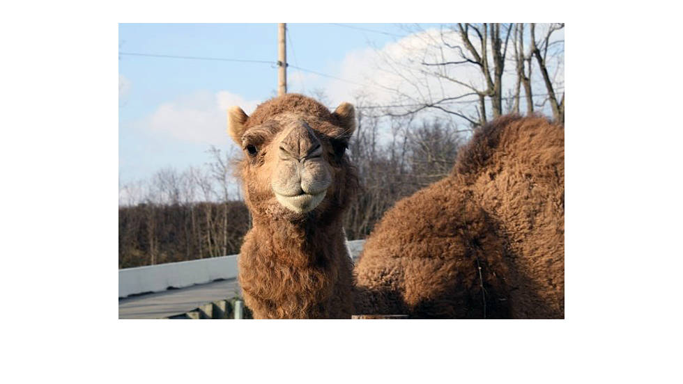 Thompson kept camels on his farm as well. Lutz said law enforcement officials were well aware of Thompson's animals and made numerous visits to the property to look into complaints and ensure that Thompson was in compliance with permits.