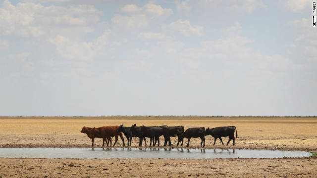 Cattle rest at a waning water hole near Canadian, Texas, in July.  More drought is expected for Texas and nearby states.