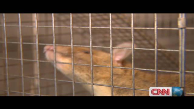 inside africa hero rats of africa _00010706