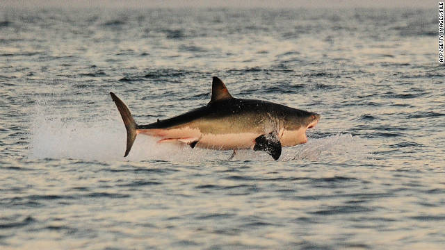 A great white shark hunts Cape fur seals near False Bay, South Africa, on July 4, 2010.
