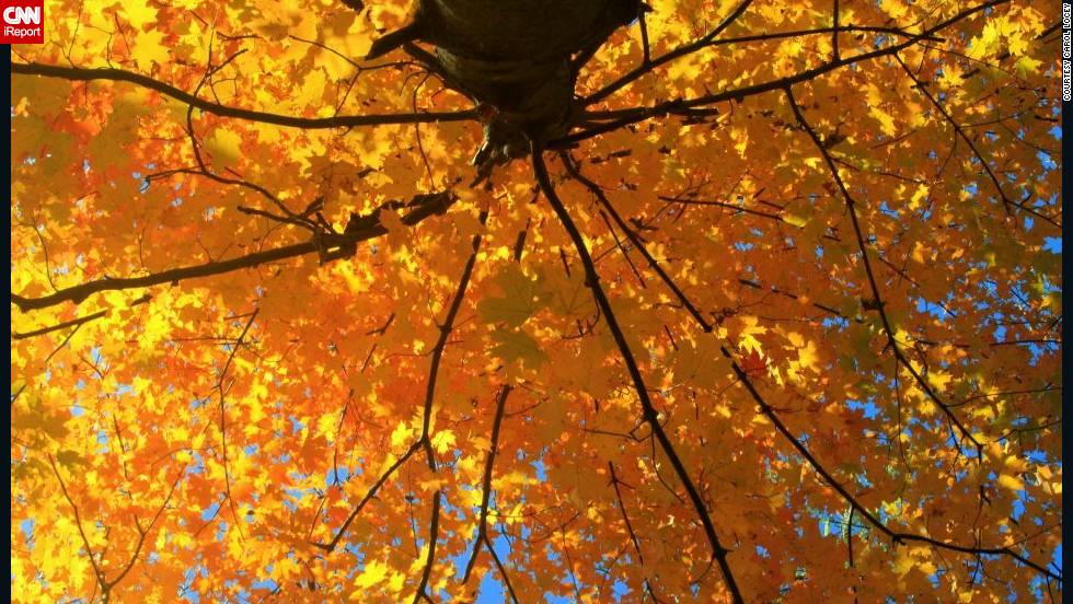 """Standing under the tree, I felt I was under a giant umbrella of golden yellow,"" Carol Locey said of her photo, taken in Milford, Ohio. ""The sun was hitting the leaves and making the tree seem it was lit by hundreds of yellow bulbs shaped like leaves."""