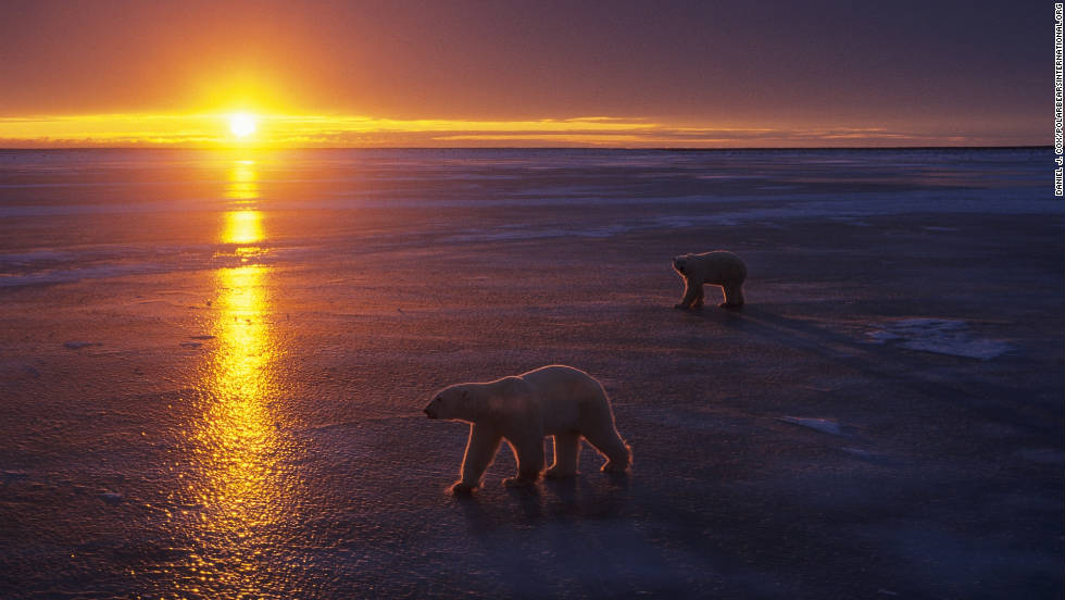 The optimal time to view the wild polar bears is in October and November near Churchill.