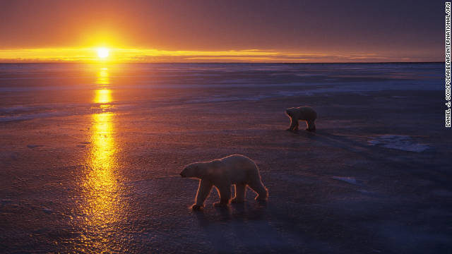 The optimal time to view the wild polar bears is in October and November near Churchill, Manitoba.