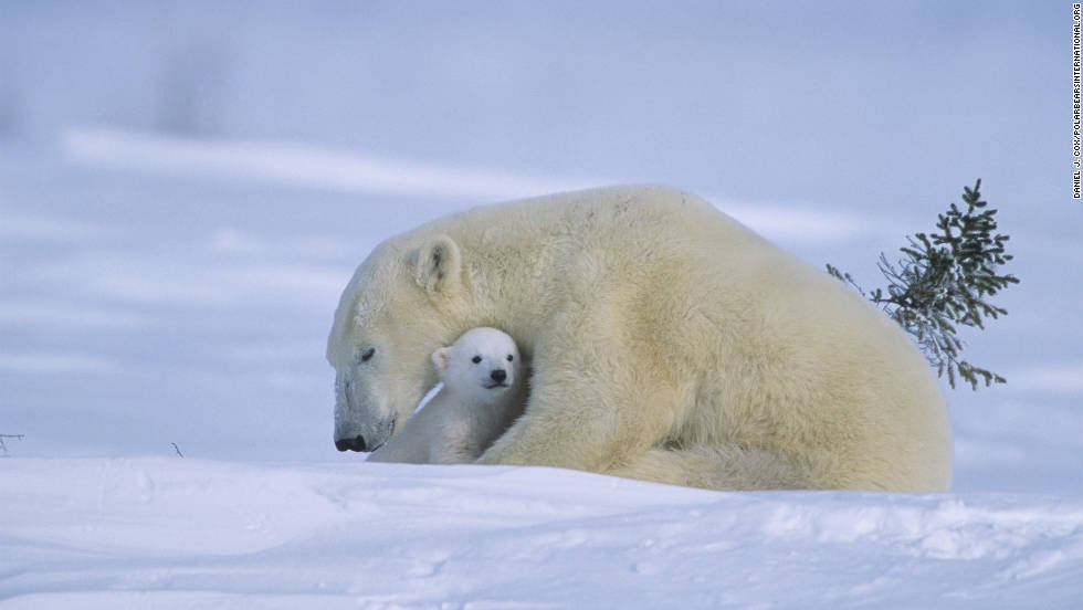 Experts say some 20,000 to 25,000 polar bears exist around the world.