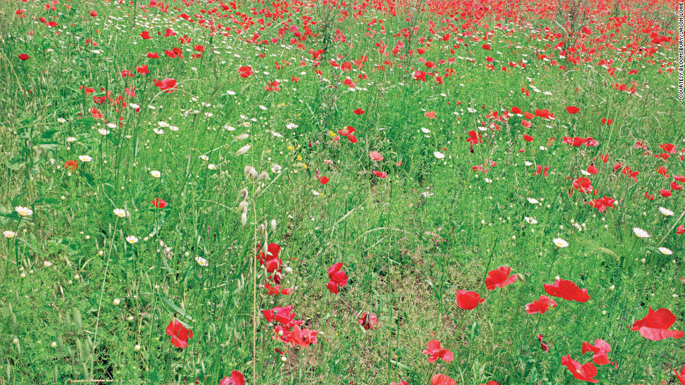 In the summer, meadows are full of colorful wildflowers, including poppies.