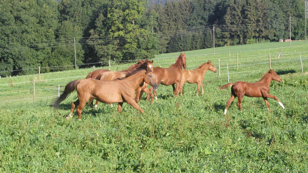 Azerbaijan's Ministry of Agriculture has drawn up a number of horse breeding programs and taken steps to improve veterinary services to try and protect the breed and increase numbers.
