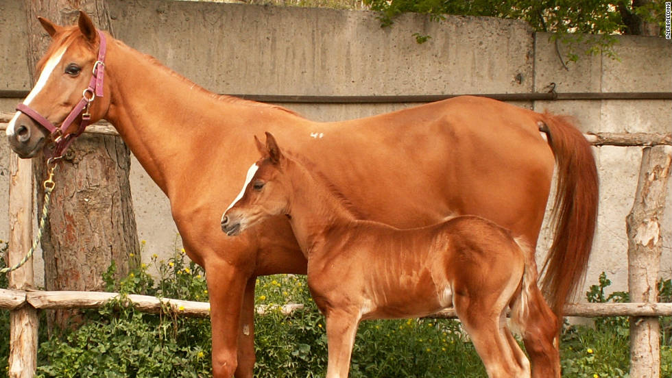 The mountain-steppe racing horse is named after the geographical region where it was originally bred. The Karabakh horse is the result of cross-breeding and stands out with what's been described as its 'golden glow.'