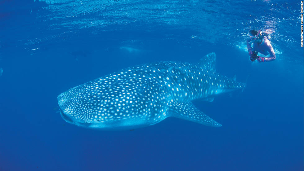 Western Australia is known for its amazing marine wildlife. Here a diver swims with a docile whale shark in the Ningaloo Marine Park.