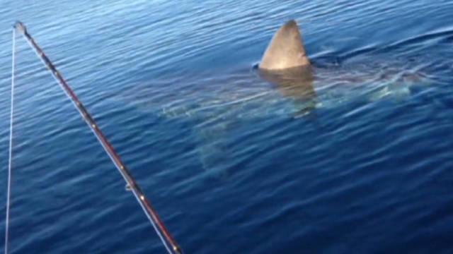 von great white shark spotted_00013508