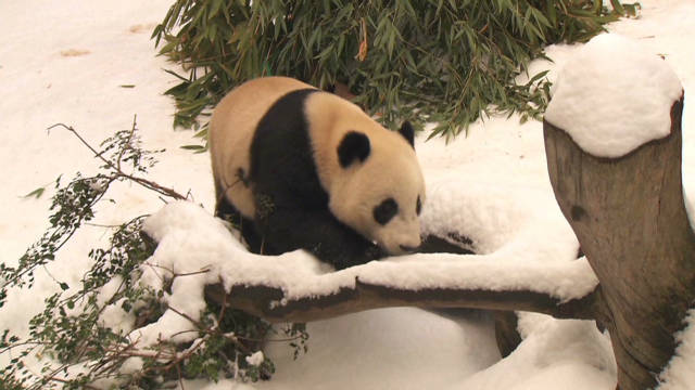 vosot san diego panda first snow_00002727