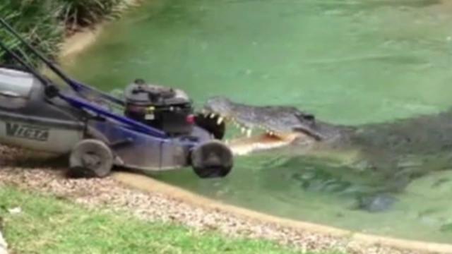 Crocodile vs. lawn mower