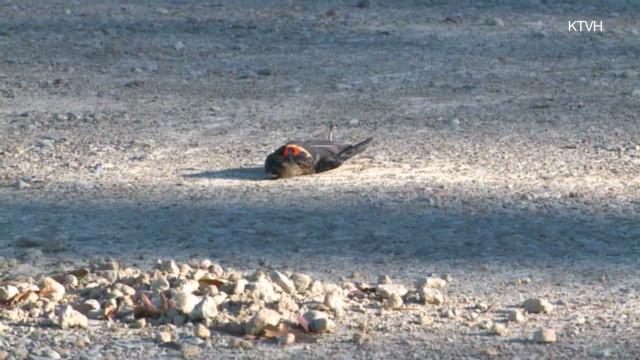 Blackbirds found dead in Arkansas