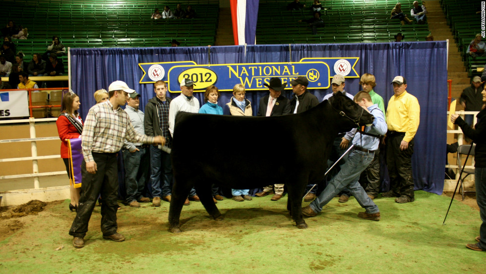 When a cow like this Black Angus wins a ribbon, they get a turn in the winner's circle.