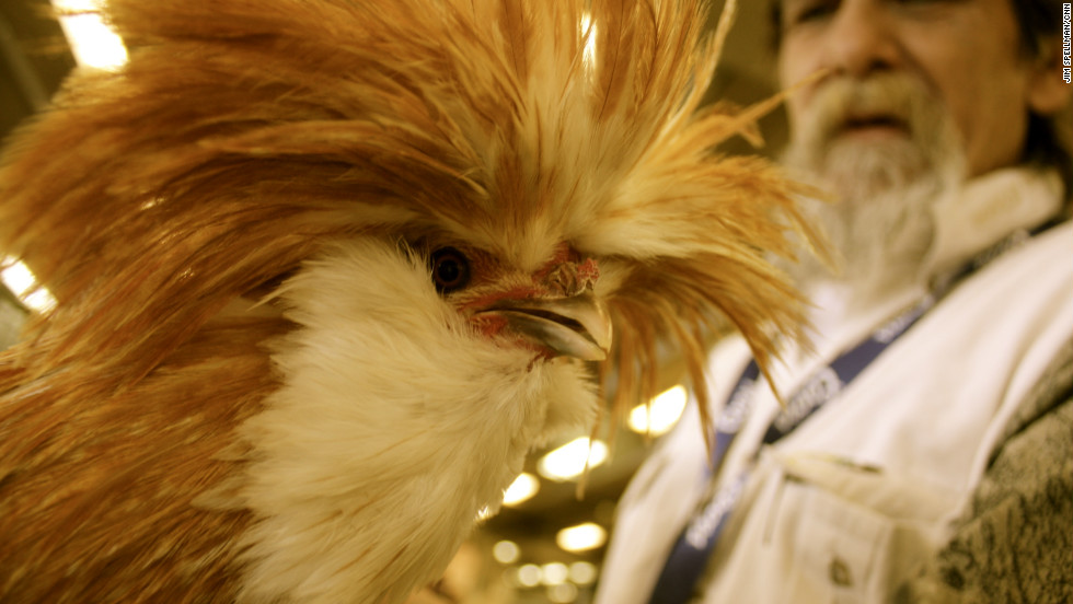 There's a lot more to the National Western Stock Show than just the cattle competition:  It's also a place where ranchers can purchase livestock and other farm animals. This golden Polish rooster was selling for $20.  He'll be showing off his feathery 'do later in the week at the chicken and rooster judging contest.
