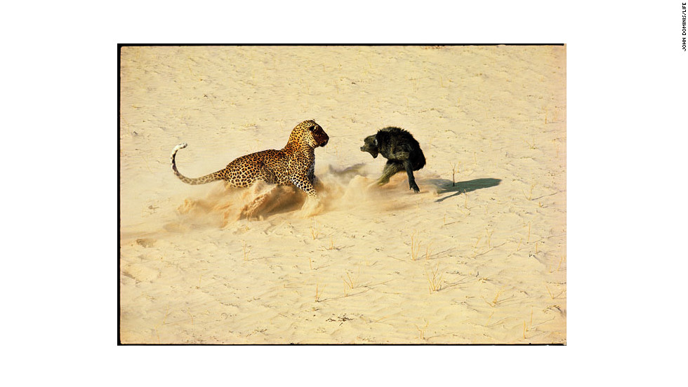 A leopard and baboon in Botswana taken by John Dominis in 1966.