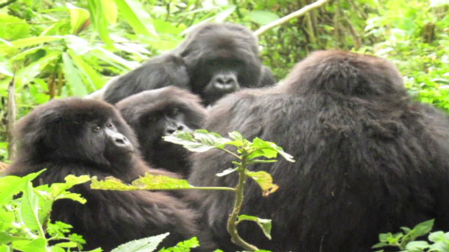 Gorillas filmed up close in the wild