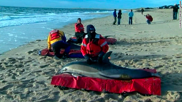 A total of 129 dolphins have been found stranded in Cape Cod, Massachusetts, since early January.