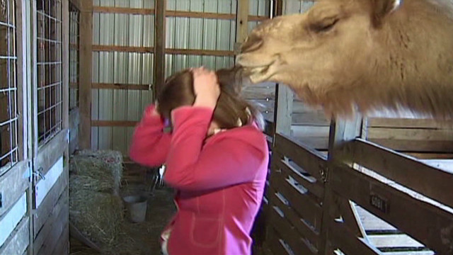 seg reporter attacked by camel_00000830
