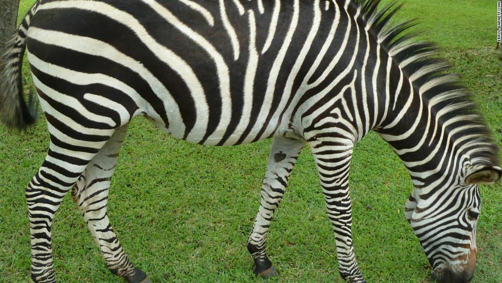 A zebra in Mosi-oa-Tunya park.