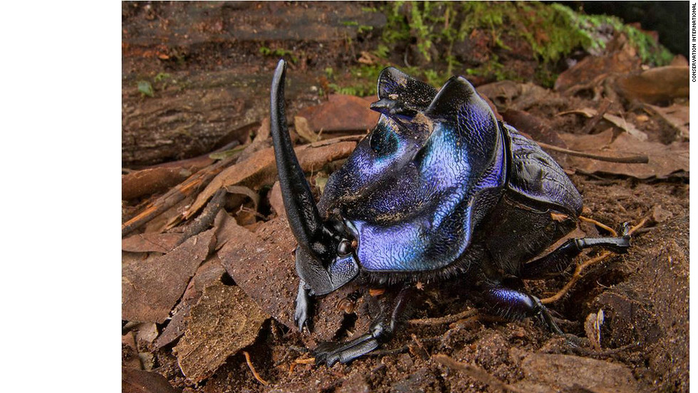 The Great Horned Beetle (Coprophanaeus lancifer) is the largest dung beetle species in the Neotropics and found in the remote forests of Suriname.