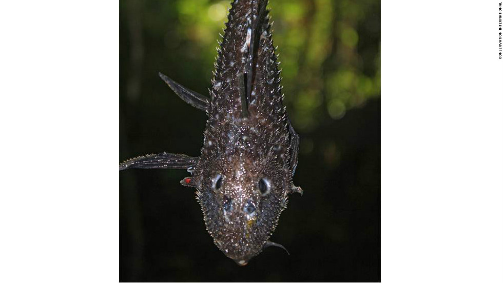 "The ""Armored Catfish"" was discovered in Suriname's Sipaliwini River. It is thought to be a new species."