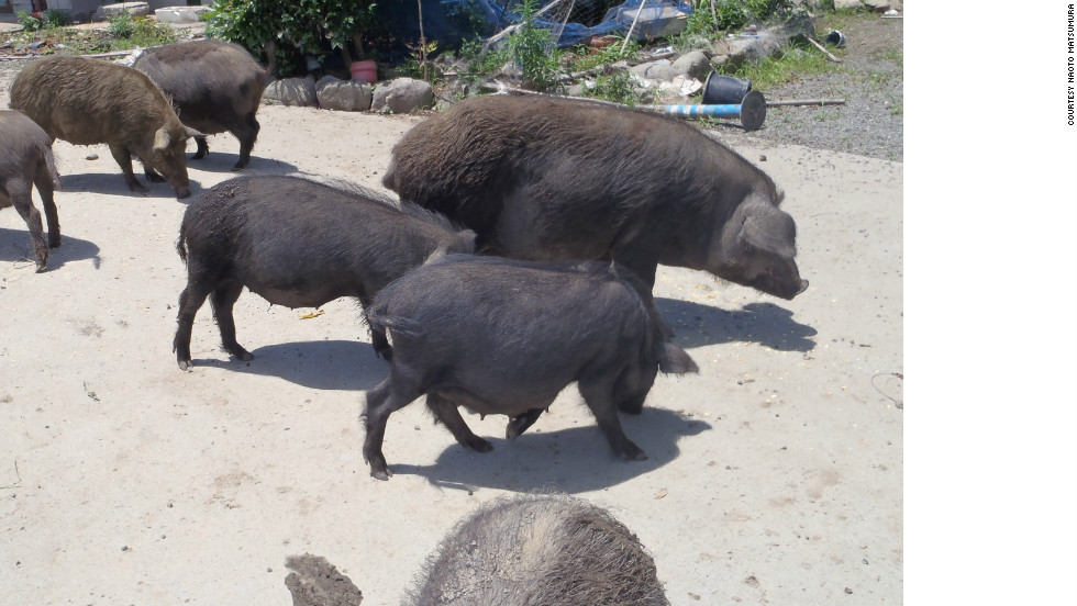 These pigs are being cared for by Naoto Matsumura, who lives in the exclusion zone in defiance of the mandatory evacuation order.