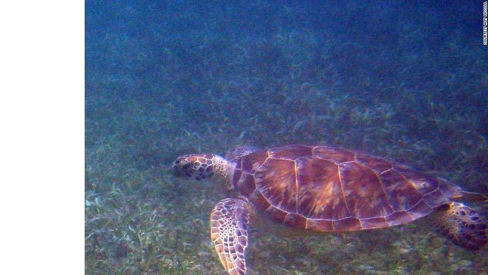 "Amy McColl took this photo of a sea turtle while snorkeling. ""My absolute favorite thing to do on St. John is snorkeling, and I love the fact that you can simply walk into the water and see amazing sea life."""