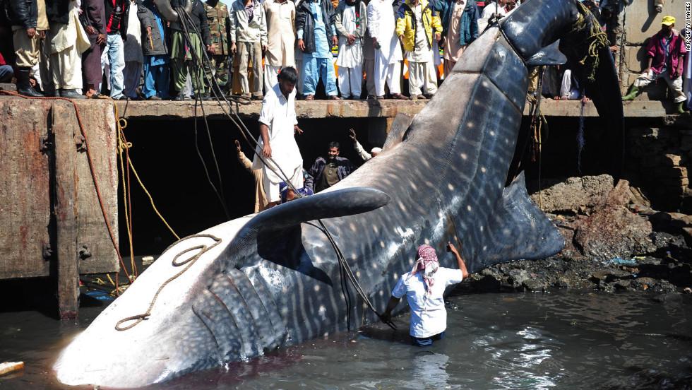 Se trata de un tiburón ballena, el pez más grande del mundo, cuyas fotos han aparecido hoy causando sensación en las redes sociales.