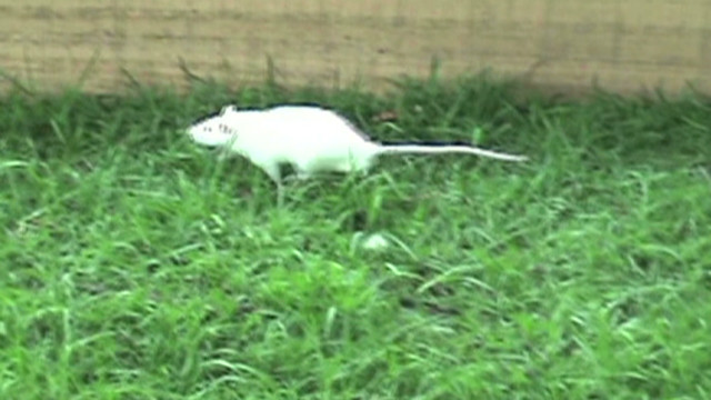 Cops use bomb sniffing rats in Colombia