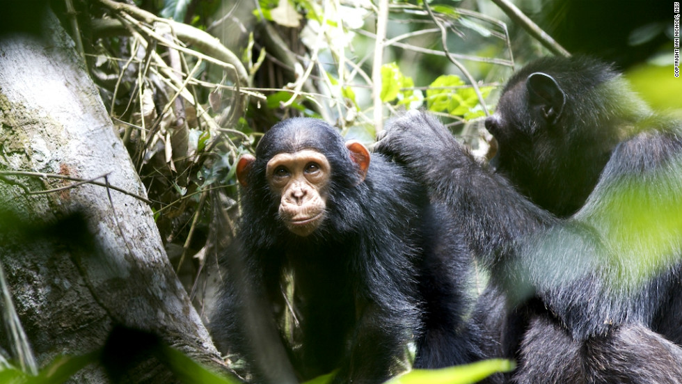 The dense swamp forest habitat is home to hundreds of chimpanzees, say conservationists.